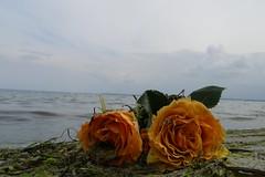 l'horizon potique (erix!) Tags: flowers sea roses beach water strand horizon blumen balticsea rosen oblique ostsee ef