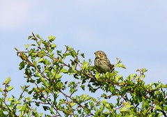 Corn Bunting sunning... (SteveJM2009) Tags: uk light sun detail fence spring focus dof singing post song beak may perch perched wiltshire salisburyplain plumage stevemaskell upavon emberizacalandra cornbunting wilts 2013