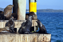 Sparring seals (Roving I) Tags: ocean sea nature wildlife australia victoria queenscliff chinamanshat furseals
