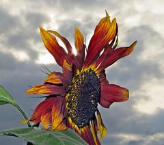 Aztec Dreaming (Dazzygidds) Tags: clouds aztec dusk sunflower nationaltrust sunbeam warwickshire followingthesun coughtoncourt burntrichness texturesofthesun