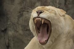 Witte Leeuwin (Jan de Neijs Photography) Tags: ouwehands ouwehandsdierenpark leeuwin witteleeuwin zoo rhenen dierentuin tamron tamron150600
