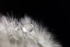 make a wish (KieraJo) Tags: 100mm 28 canonef100mmf28macrousm bokeh canon 5d mark 3 iii 5d3 fullframe dslr macro closeup beautiful bright white black definition strong bold composition contrast dandelion seed seeds fluffy droplet water drop