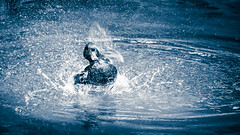Splash Duck - Naturpark Bayrischer Wald, Germany (Sebastian Bayer) Tags: action colorized nationalpark water outdoor vacation wellen waves blue 4015028 tierpark park duck see wasser splash lake omdem5ii pond olympus movement bewegung tier monochrome spritzen urlaub bayrischerwald ausflug ente animalparc drausen teiltonung teich zoo