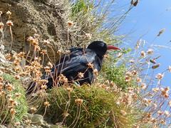 Chough  P1270311 (ianpreston) Tags: wales newquay llangrannogbay westwales aberystwyth seaside chough 2016
