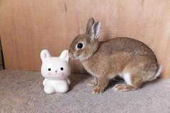 Ichigo san 284  (mensore) Tags: brown bunny cute family ichigo netherland dwarf netherlanddwarf pet rabbit