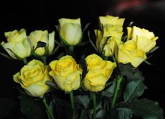 DSC_5594 (PeaTJay) Tags: nikond300s sigma reading lowerearley berkshire macro micro closeups gardens outdoors nature flora fauna plants flowers rose roses rosebuds