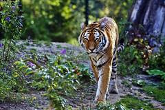 Sibirischer Tiger (Michael Döring) Tags: gelsenkirchen bismarck zoomerlebniswelt zoo armurtiger sibirischertiger afs105mm14e d7200 michaeldöring inexplore