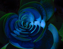 nature's fractalsadorable perfection (Noel Leone--my reality in and out of focus) Tags: huntingtongardens desertgarden blue green naturalfractal succulent harmony repetition sanmarino ca arealplant aboutsixinchesindiameter