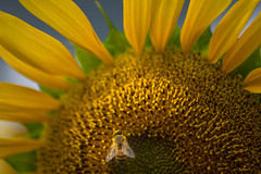 All mine. :) (janet.capling) Tags: sunflower sun bee pollen wings stripes petals blue sky