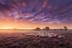 The Shepherd (albert dros) Tags: morning netherlands sheep sunrise dutch heide purple mist albertdros sky fog heather atmosphere shepherd sunset