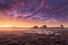 The Shepherd (albert dros) Tags: morning netherlands sheep sunrise dutch heide purple mist albertdros sky fog heather atmosphere shepherd sunset