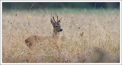 dans les herbes folles (guiguid45) Tags: nature sauvage animaux mammifres fort fortdorlans loiret d810 nikon 500mmf4 chevreuil brocard capreoluscapreolus roedeer ree