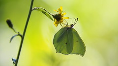 Citroenvlinder (nikjanssen) Tags: butterfly vlinder citroenvlinder backlight green nature mariahofbeek beek belgium