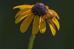 Leaf Beetle/ Flea Beetle (Stephen J Pollard (Loud Music Lover of Nature)) Tags: parchicolatibialis leafbeetle fleabeetle blackeyedsusan rudbeckiahirtavarpulcherrima wildflower florsilvestre flor flower