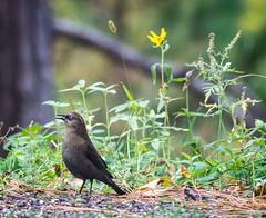 Rusty Blackbird (Wild Birdy) Tags: mn minnesota kabekona laporte hubbard bird cute adorable rare threatened rusty blackbird euphaguscarolinus rustyblackbird usa aba migration bokeh grass seed