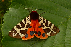 Garden Tiger (Arctia caja) Garden 2015 Jul 02_0940 (wirralbirder) Tags: lepidoptera macromoth erebidae arctiinae ukbritish english cheshire vc58 upton garden