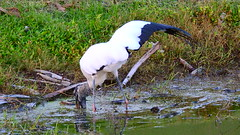Wood Stork (Jim Mullhaupt) Tags: woodstork stork woodibis wader bird water pond lake swamp wildlife nature landscape background wallpaper outdoor bradenton florida nikon coolpix p900 jimmullhaupt photo flickr geographic picture pictures camera snapshot photography nikoncoolpixp900 nikonp900 coolpixp900