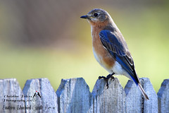 Eastern Bluebird-male Our home in Portsmouth, Va 3-17-16 (chryscott4) Tags: birds birding bird easternbluebird birder birdwatcher birdwatching backyard birdphotography birdlover birdphotos photography photo portsmouth virginia va eastern bluebird