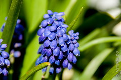 Bluebells (Asteria D.) Tags: nature plant flower colorful hyacinth closeup