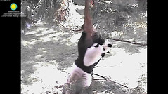 2016_09-06h (gkoo19681) Tags: beibei meixiang playtime treetime sohappy confused climbing dangling stillgotit youngatheart silliness ccncby nationalzoo