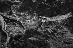 the beast (anthony.vairos) Tags: bw blackandwhite noiretblanc photo contrast photography photographie photoshop lightroom nikon d750 nikkor 70200mmf4 manfrotto fullframe pleinformat dslr beautiful frenchalps hautesavoie leshouches rocky beast wood scarred look cornes horn chamonix montagne
