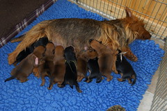 9 puppies born 09-10-16