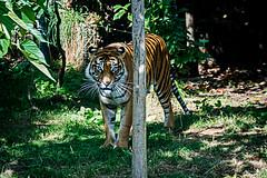 Sumatran Tigers 0013 (ros.wood) Tags: animals wildanimals sumatrantiger zooanimals nikon 18200nikonvriilens nikon1v3 v3 ft1 london