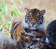 Tigress Model (greekgal.esm) Tags: sumatrantiger tiger tigress bigcat cat feline animal mammal carnivore indah losangeleszoo lazoo losangeles griffithpark california sony a77m2 a77mii sal70300g