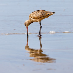 Dig (GavinZ) Tags: california lajollashores sandiego usa beach animal bird dig reflections water shore