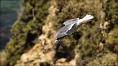 _DSC1296 (Valber78) Tags: mouette nikon5500 seabird oiseau birds