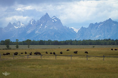 Home is where the Buffalo Rome (Marisa Sanders Photography) Tags: tetons grandtetons thegrandtetons nps np gtnp grandtetonnationalpark canon canon7d explore outdoors outside gtfoutside gtfoutdoors landscape photography buffalo bison wildlife