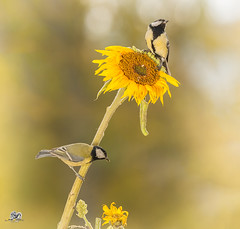 sunny flower (Geert Weggen) Tags: nature animal perennial closeup cute plant funny happy summer ground bright light branch yellow bird tit titmouse sunflower flower peduncle stem sweden geert weggen jmtland ragunda