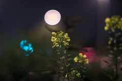 SMC Pentax-M 1.4/50 (::nicolas ferrand simonnot::) Tags: smc pentaxm 50mm f14 1984 | 8 blades iris pk mount paris 2016 bokeh color flower night light vintage manual classic japanese japan prime fixed length lens pentaxm50mm14