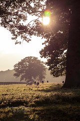 15/31 Sheep in the Late Afternoon Light (belincs) Tags: 2016 lincolnshire october octoberproject uk animal landscape outdoor sheep