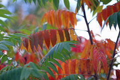 Sumac Leaves in Autumn (CCphotoworks) Tags: pretty processing photoshop ccphotoworks nature orangecolours reds bokeh fallcolours fall sumac autumn sumacleaves