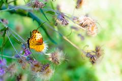 The Indian Fritillary -  (Mototaka Tsujima) Tags: nokton 58mm f14 nikon d600 nature butterfly autumn koishikawa botanical garden tokyo japan