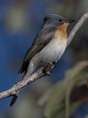 leaden flycatcher (Myiagra rubecula)-5780 (rawshorty) Tags: rawshorty birds canberra australia act campbell