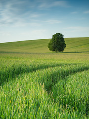 Two tracks and a tree (colour) (elliot.hook) Tags: landscape hertfordshire summer spring farmland crop wheat barley uk british tree lone