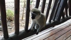Mono (Alicia Julin) Tags: mono masai mara kenia africa safari monkey kenya