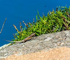 DSC_6056 (sergeysemendyaev) Tags: 2016 rio riodejaneiro brazil pedradagavea    hiking adventure best    travel nature   landscape scenery rock mountain    high green   summit  lizard