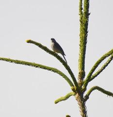 Chipping Sparrow (glenbodie) Tags: glen bodie glenbodie dncb qepark 201425 chipping sparrow