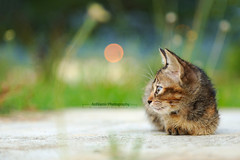 Jauh Renunganmu | Candid (AnNamir c[_]) Tags: annamir kitten wallpaper kucing anakkucing canon sigma 200mm dqkkb bokeh bokehlicious malaysia nature
