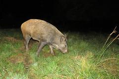Boar wild at night 20.9.2016 (1) (Margaret the Novice) Tags: wildboar fantasticnature