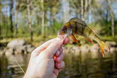 Fish perch in the hand on shore (mikhafff1984) Tags: fishing catch angler hand hook perch fish shore gulf lake river nature landscape water