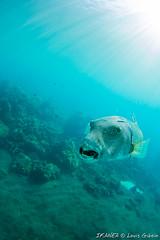 Star Puffer-2251.jpg (lgiboin) Tags: indonesia travel underwater