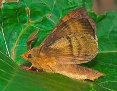 Dendrolimus sp. (mishko2007) Tags: korea 105mmf28 dendrolimus