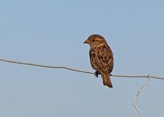 Sunset Sparrow (Treflyn) Tags: sparrow fence norden farm campsite dorset