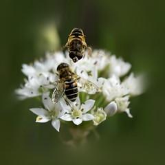 Eristalis sp. (boulder crux) Tags: nikon micronikkorais nikond5300 bokeh insect nature eristalissp fly syrphidae eristalinae syrphes ristales macro proxi