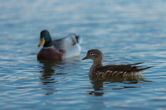 Mandarina Duck (female) (iLaura_) Tags: lagodivarese anatramandarina nature