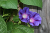 PURPLE MORNING GLORY, in Staten Island, New York, September, 2016 (Tom Turner - SeaTeamImages / AirTeamImages) Tags: morningglory purplemorningglory morningglories colorful purple vine tomturner statenisland newyork nyc bigapple usa unitedstates nature commonmorningglory tallmorningglory ipomoeapurpurea